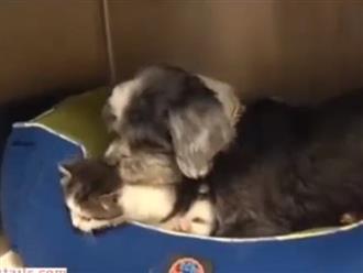 Chó nhận mèo làm con nuôi và câu chuyện phía sau khiến dân mạng thổn thức