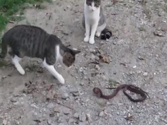 2 chú mèo mướp rủ nhau trêu chọc rắn độc và cái kết không ngờ