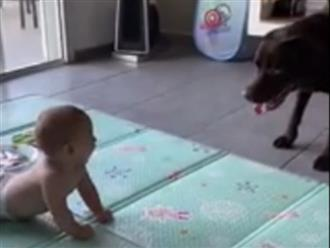 Thấy em bé nằm giữa nhà, chú chó to lớn cứ chạy xổ tới rồi rụt người lại liên tục, biết lý do ai nấy đều ngỡ ngàng