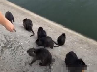 Thấy cả bầy chuột khổng lồ lội từ dưới nước lên, người phụ nữ chẳng những không xua đuổi mà còn gan dạ làm việc này