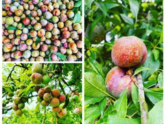 'Đột nhập' Mộc Châu mùa mận chín: Bạt ngàn rừng mận trĩu quả, bao nhiêu ngọt, ngon, tinh túy đều có ở mận đầu hè
