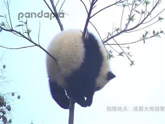 Nghịch ngợm leo trèo, gấu trúc mắc kẹt trên ngọn cây