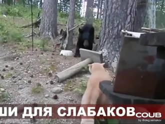 Bị mèo đuổi đánh, gấu khổng lồ 'vứt hết liêm sỉ' leo lên cây lánh nạn
