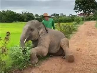 """Bị quất một roi, chú voi liền lăn đùng ra đường ngúng nguẩy ăn vạ khiến anh chủ dù giận tím mặt vẫn phải xuống nước dỗ dành """"gãy lưỡi""""!"""