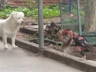 Cà khịa gà trống, khỉ bị 'táng' không trượt phát nào, buồn cười nhất là thái độ của kẻ thứ ba ngay bên cạnh