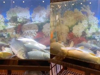 Cảnh tượng đàn cá nằm ngửa bụng, la liệt ngủ trưa nhưng vẫn mở mắt tròn xoe khiến chủ giật mình khi nhìn thấy