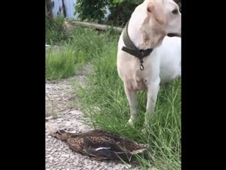 Chó săn đứng cạnh chú vịt chết cứng đơ khiến ai cũng thương, cú twist ngay sau đó làm dân tình cười xỉu