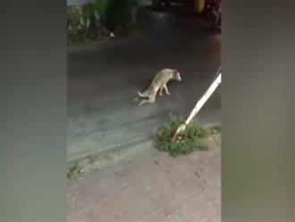 Chó chặn đường taxi ăn vạ, chuyện thật tưởng như đùa