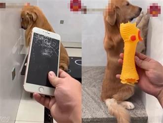Bị chủ phạt vì quậy nát cả nhà không chừa thứ nào, chú chó cam chịu thấy thương khiến dân tình cười đau ruột