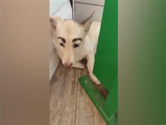 """Chú chó có cặp """"lông mày"""" cực đỉnh gây bão mạng xã hội"""