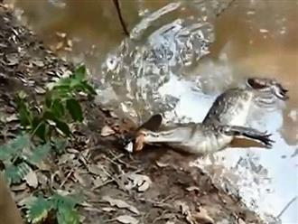 Clip: Cá chình phóng điện giật chết cá sấu