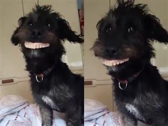 Clip chú cún cười toe toét khoe bộ răng mới tậu khiến dân mạng cười lăn cười bò vì quá hài hước