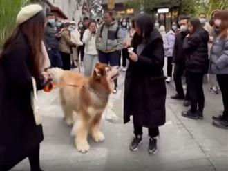Đang đi bon bon trên đường, chú chó béo bất ngờ vứt hết 'liêm sỉ' để xin kem của cô gái