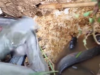 Đặt chiếc xô cũ trên mương nước, người đàn ông ngồi không chờ cá lũ lượt tự chui đầu vào rọ