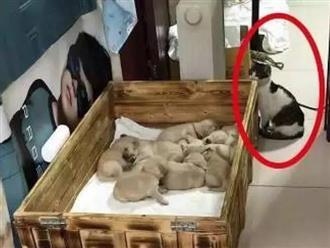 """Để mèo cưng cùng lũ cún con ở nhà, chủ nhân dắt chó mẹ đi dạo, khi trở về nhìn thấy cảnh tượng """"dở khóc dở cười"""" của các con vật"""