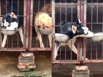 Được chủ cho ở riêng, chó ngáo Husky vẫn 'chõ mỏ' giành ăn trắng trợn, chiêu trò tinh vi khiến dân tình cười ná thở