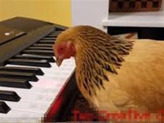 Ngỡ ngàng xem gà mái chơi đàn piano