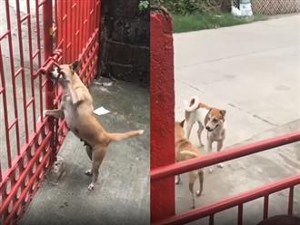 Góc 'bỏ nhà theo trai': Chó cưng tự mở cổng đi chơi khiến chủ 'nhìn mà tức á'