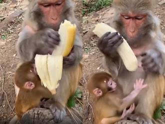 Khỉ mẹ kỹ tính nhất hệ mặt trời, bóc chuối thôi mà cũng cẩn thận quá mức khiến con chán chẳng muốn nói