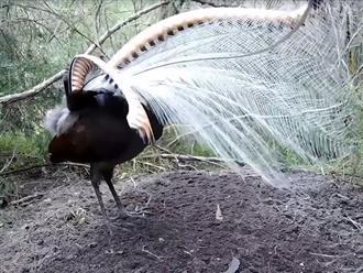 Khó tin cảnh chim sơn ca đực xòe cánh thu hút bạn tình đẹp như một tác phẩm nghệ thuật