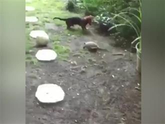 Khó tin cảnh cún cưng và rùa chơi bóng cực nhiệt huyết