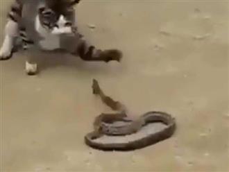 Clip: Mèo khiêu chiến, ngoạm sống rắn trong vòng 1 phút