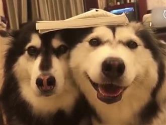 Gặm nát sách, 2 chú chó bị chủ phạt cực dễ thương