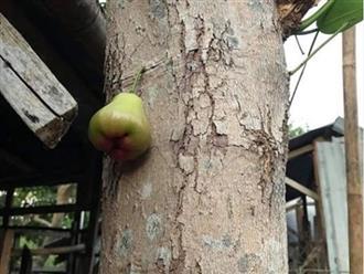"""Quả roi """"tự kỷ"""" một mình chiếm vị trí độc tôn ngay giữa thân cây, dân mạng liền trêu: """"Chắc chỉ để ngắm chứ chẳng nỡ ăn?"""""""