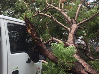 Thêm một cây phượng gần trường Đại học ở Sài Gòn bật gốc đè trúng xe tải, nhiều người đi đường hoảng hồn