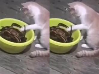 Trêu chọc đàn cua trong chậu, chú mèo 'ngứa đòn' bị nghiệp quật không trượt phát nào