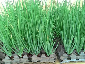 Mẹo trồng hành lá cực nhanh mà nhàn không cần đất, tha hồ hái mỏi tay