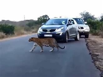Báo đốm mẹ ra đường lớn đứng bất động ngó trước ngó sau ai cũng tưởng đang săn mồi, nào ngờ lại làm hành động đáng yêu này