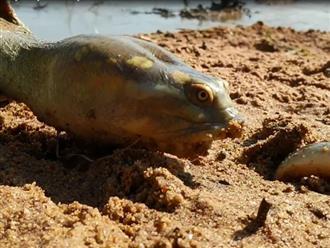 Cá chạch trồi lên từ đất bất ngờ bị rùa vươn cổ dài ra đớp trọn, cảnh tượng khiến người xem nổi da gà