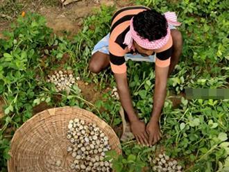 Chiều chiều xách rổ đi vào rừng, tìm kiếm dưới đám cỏ thanh niên thu hoạch được hàng trăm quả trứng cút