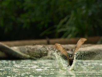 Đàn dơi bay thành đàn tìm đường xuống suối tắm rửa nào ngờ bị con vật nguy hiểm này 'mai phục' đớp trọn không có đường thoát