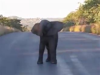 Đang cùng mẹ đi kiếm ăn, voi con dừng lại giữa đường làm hành động này khiến người ngồi trong xe cười xỉu