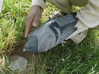 Đi rừng ôm theo con chim bồ câu, sau đó tìm được cái hang, thanh niên dùng chim để bắt cá cực chất