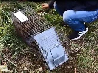 Hai thanh niên đặt chiếc lồng sắt bên cạnh mương nước, một lát sau đã có con chuột 'thành tinh' siêu to mắc bẫy