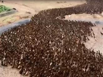 Hàng nghìn con vịt kéo nhau xuống ruộng làm điều này mỗi ngày, khi biết nguyên nhân ai cũng thán phục vì sự thông minh của người nông dân