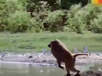 Khỉ đầu chó nổi điên chạy xuống bờ sông bật nhảy bắt sống hồng hạc, cảnh cuối clip mới kinh điển