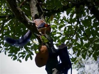Khỉ đuôi dài vả sóc con không trượt phát nào vì dám vào 'vùng cấm địa' ăn trộm mít của mình, cảnh cuối khiến ai cũng cười lộn ruột