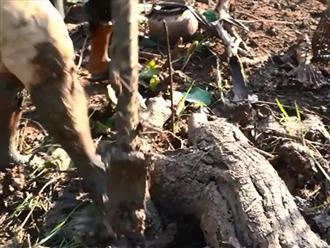 Lật gốc cây khô trên ruộng, người đàn ông hốt trọn ổ cá lóc khủng đang mắc cạn khiến ai cũng há hốc mồm