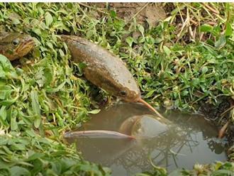 Loài cá kỳ lạ ngoi lên từ cái hang bí ẩn nuốt chửng hai con cá nhỏ, cảnh tượng không thể rời mắt