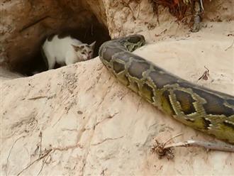 Mèo mẹ 'nhỏ mà có võ' một mình đứng trước miệng hang chống lại trăn khổng lồ để bảo vệ đàn con của mình đang nằm bên trong