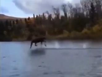 Nai sừng dùng 'khinh công' lướt băng băng trên mặt nước khiến ai cũng há hốc mồm ngạc nhiên