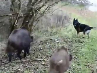 Nổi hứng trêu chọc lợn rừng, chú chó bị cả đàn 'xúm' lại rượt chạy sấp mặt, cảnh tượng khiến người xem thích thú
