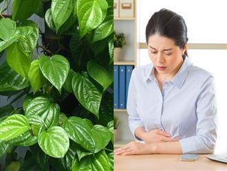 Mẹo chữa đau dạ dày bằng lá trầu không ít người biết nhưng cực hiệu quả