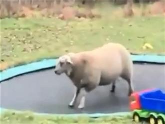 Phát hiện cái bạt nhún trong nhà dân, cừu con cả gan trèo vào vui chơi nhảy múa tự nhiên như nhà của mình