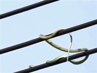 Rắn xanh dài gần 5 mét bất chấp nguy hiểm 'đi đường quyền' trên dây điện không khác gì diễn viên xiếc khiến ai cũng nổi da gà