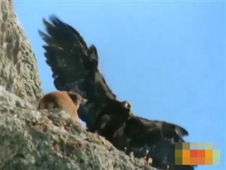 Thấy đàn nai đang chạy trên vách núi, đại bàng sát thủ đáp xuống dùng móng vuốt nhọn kẹp lấy con mồi nặng gần trăm ký kéo bay đi